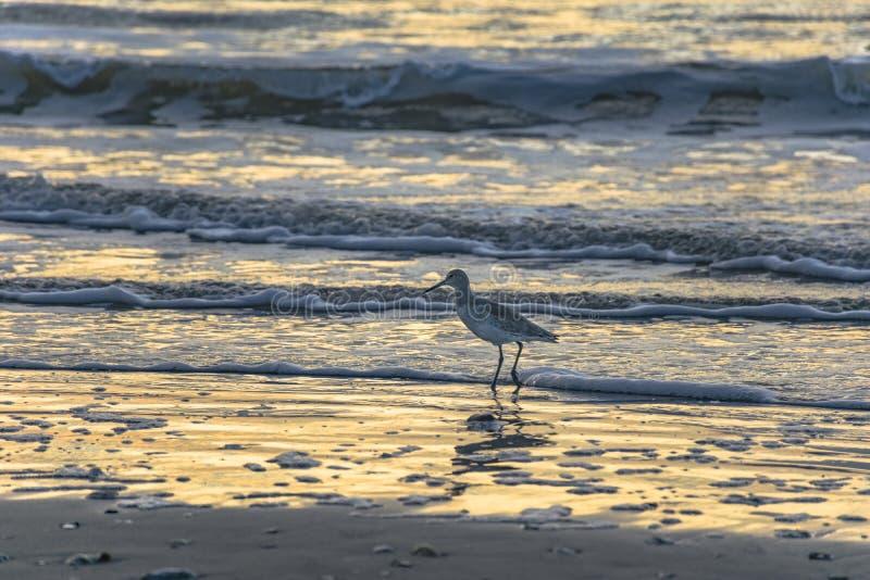 Seemöwe auf Strand bei Sonnenaufgang lizenzfreies stockbild