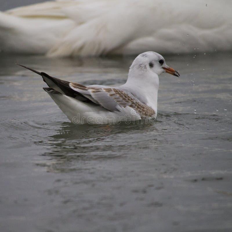 Seemöwe auf Wasser an einem Tag des regnerischen Winters stockfotos