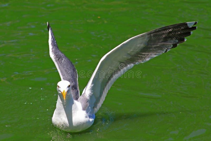 Seemöwe-ausbreitende Flügel auf grüner Oberfläche von Teich stockfotografie