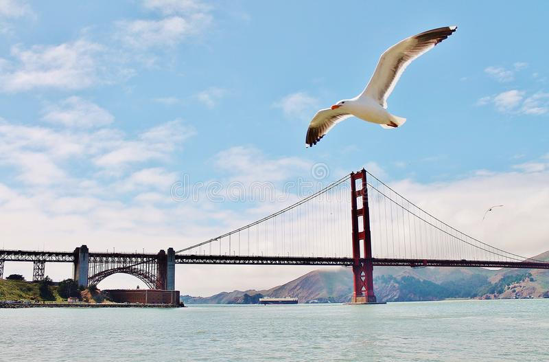 Seemöwe bei Golden gate bridge stockbilder