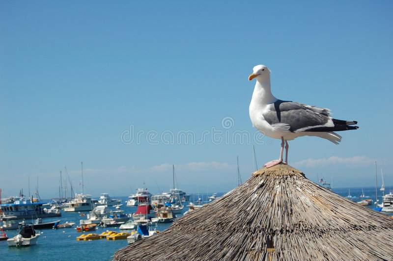 Seemöwe-Catalina-Insel stockfotografie