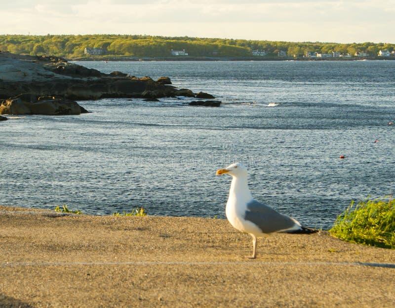Seemöwe an der Bucht stockbilder