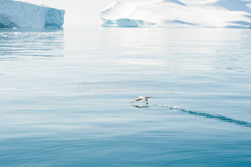 Seemöwe, die über dem Wasser in Atlantik, Grönland sich entfernt stockfotos