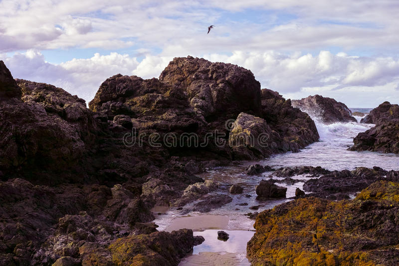 Seemöwe, die über felsige Küste am Hafen Macquarie Australien fliegt stockbilder
