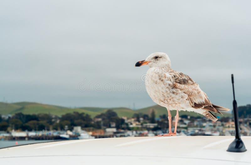 Seemöwe, die auf das Auto-Dach sitzt Bewölkter Tag, Ruhe, Kopien-Raum, Konzept lizenzfreie stockfotos