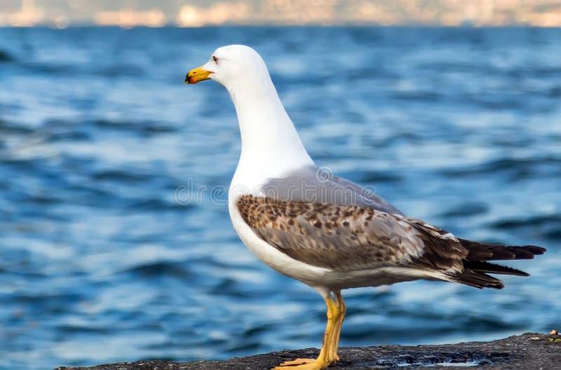 Seemöwe, die auf dem Pierstrand, weißer Vogel Bosphoru der Seemöwe steht lizenzfreie stockfotografie