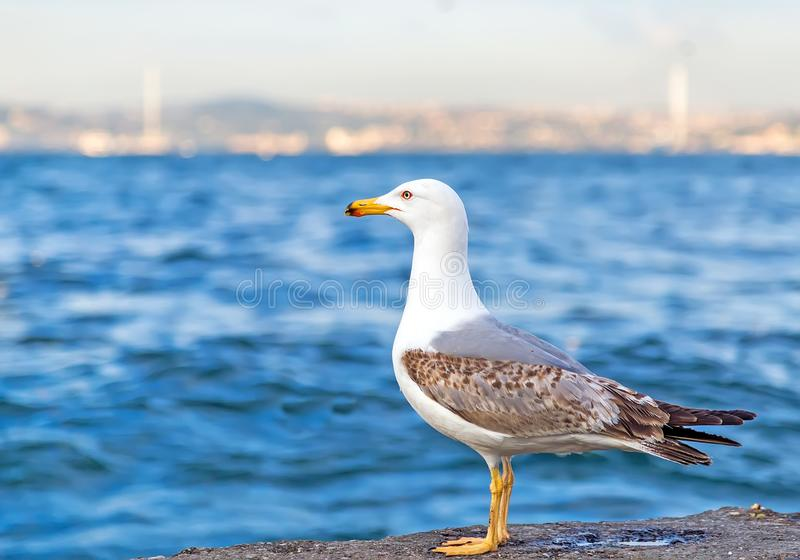 Seemöwe, die auf dem Pierstrand, weißer Vogel Bosphoru der Seemöwe steht stockfotografie