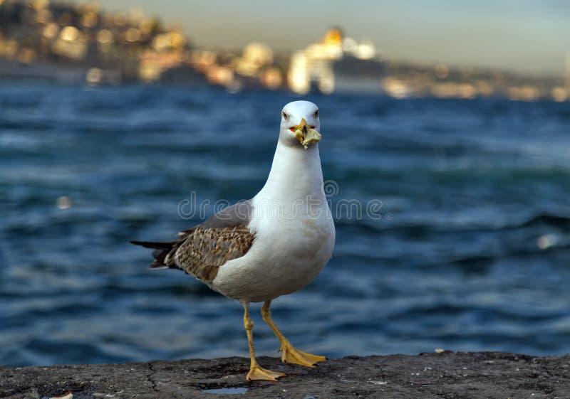Seemöwe, die auf dem Pierstrand, weißer Vogel Bosphoru der Seemöwe steht lizenzfreie stockbilder