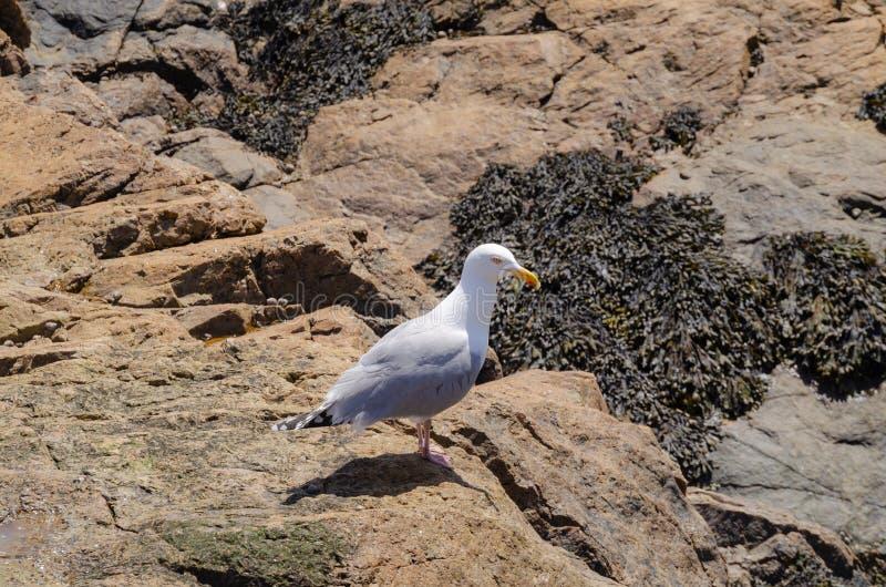 Seemöwe, die auf einem Felsen stillsteht stockfotografie