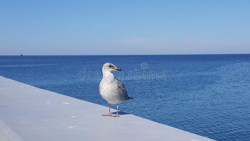 Seemöwe, die auf einer Betonmauer vor dem hintergrund des Meeres sitzt stockbild