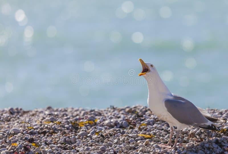 Seemöwe, die auf Rocky Beach in Normandie schreit lizenzfreies stockfoto
