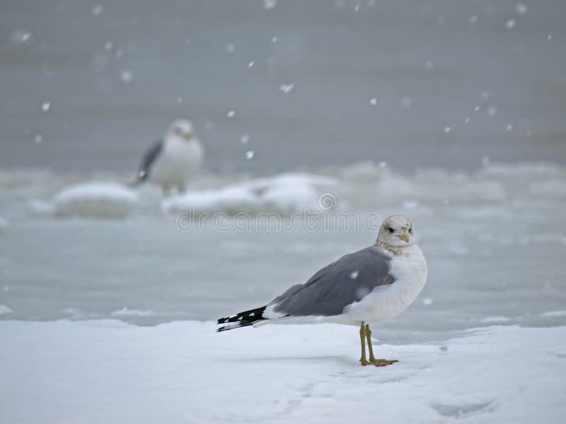 Seemöwe, die auf Schnee steht lizenzfreies stockbild