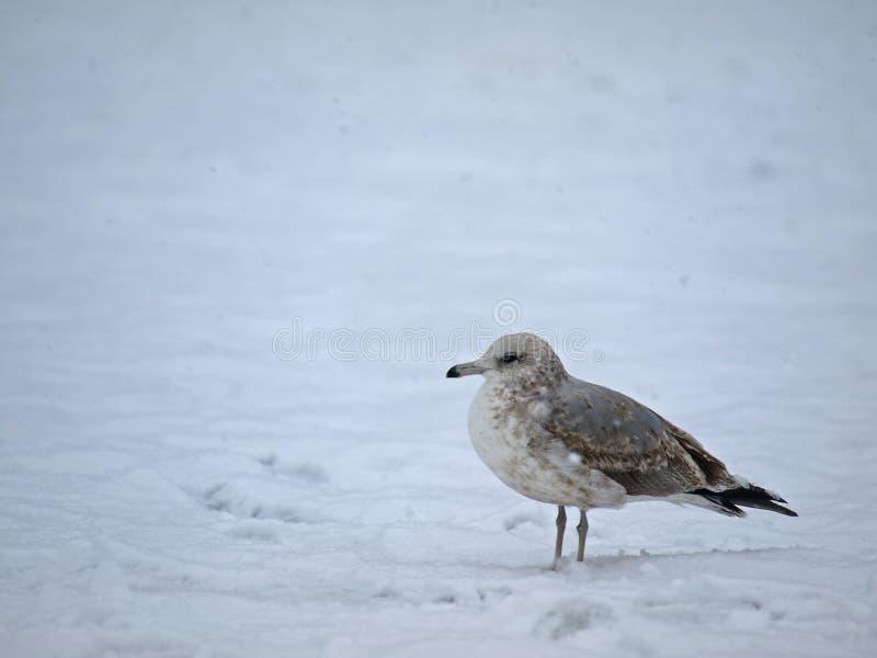 Seemöwe, die auf Schnee steht lizenzfreies stockfoto