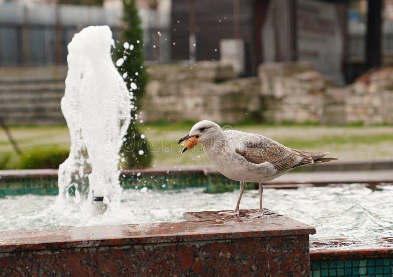 Seemöwe, die Brot nahe Brunnen isst lizenzfreies stockbild