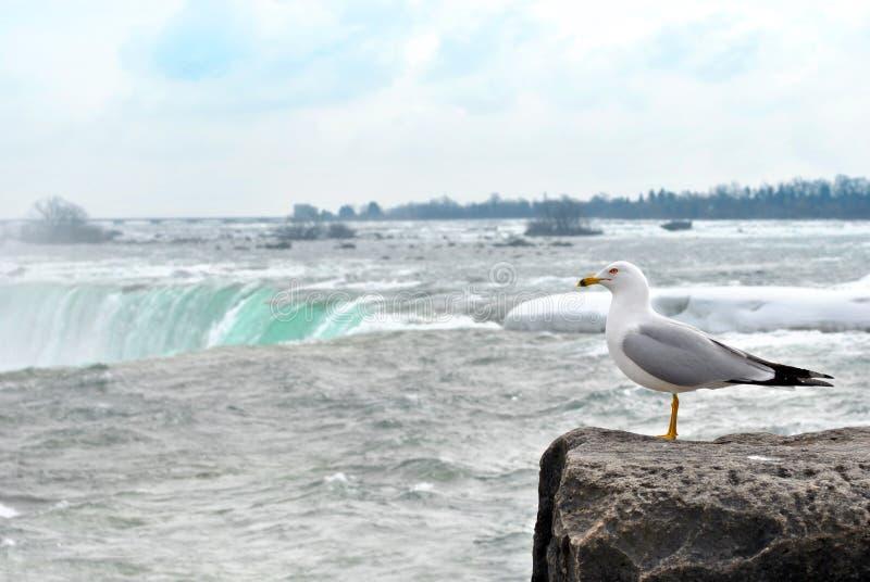 Seemöwe, die das Niagara Falls ansieht stockfoto
