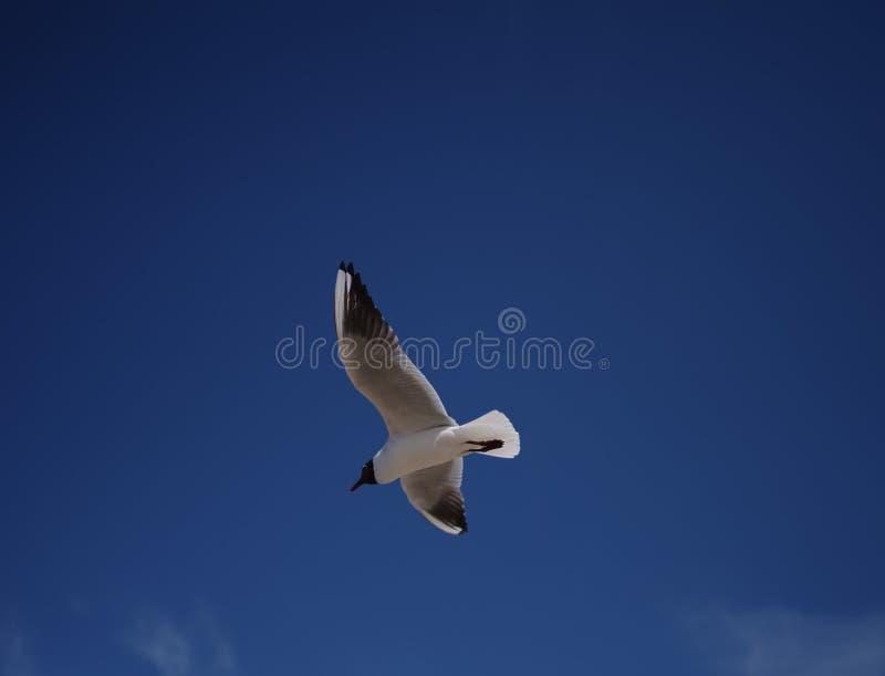 Seemöwe, die hoch in den dunkelblauen Himmel fliegt lizenzfreie stockfotos