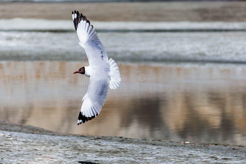 Seemöwe, die vertikal nahe See fliegt! lizenzfreie stockfotografie