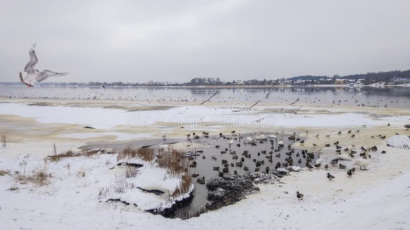 Seemöwe in einem Winterfluß Daugava in Riga, Lettland, Ost-Europa stockbild