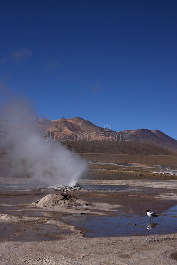 Seemöwe EL-Tatio stockfotografie