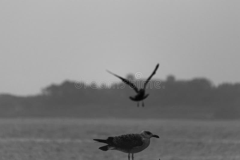 Seemöwe fliegt über das Meer, das zweite sitzt lizenzfreie stockfotos