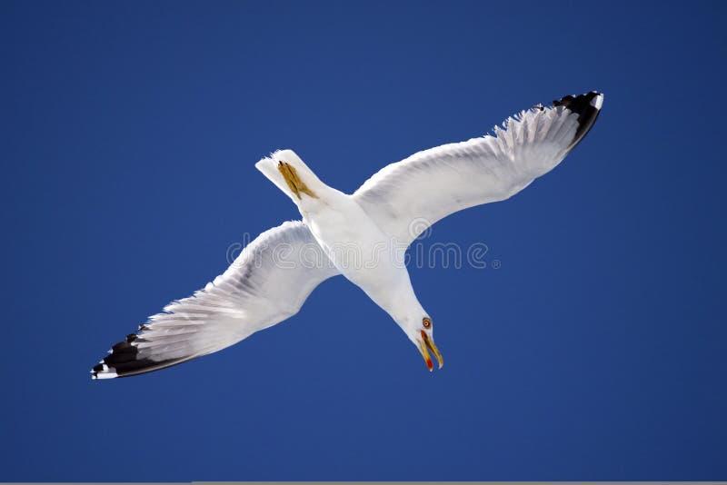 Seemöwe in flight-2 stockfoto
