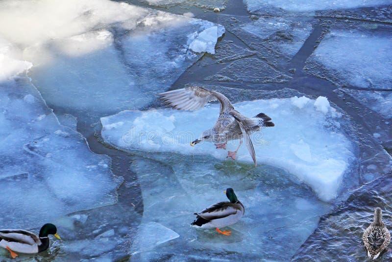 Seemöwe gegen Enten lizenzfreie stockfotos