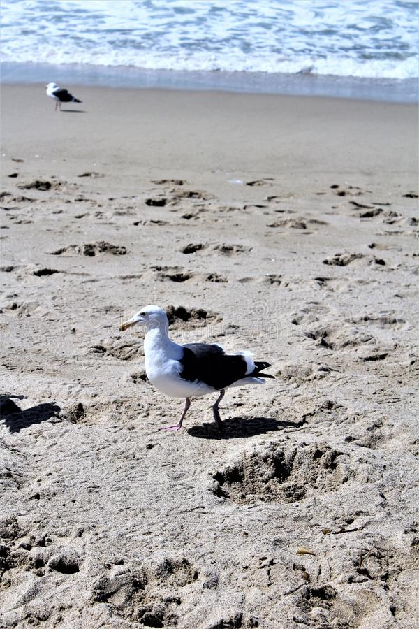 Seemöwe an Hermosa-Strand Kalifornien in der Los Angeles County, Kalifornien, Vereinigte Staaten lizenzfreie stockbilder