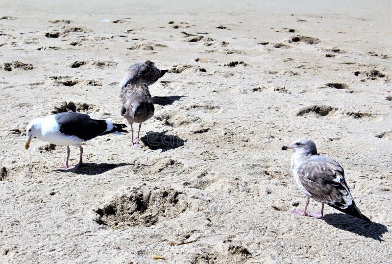 Seemöwe an Hermosa-Strand Kalifornien in der Los Angeles County, Kalifornien, Vereinigte Staaten lizenzfreies stockfoto