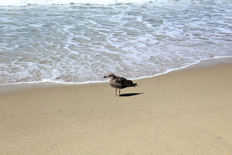 Seemöwe an Hermosa-Strand Kalifornien in der Los Angeles County, Kalifornien, Vereinigte Staaten stockbild