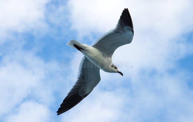 Seemöwe im Flug stockfotos