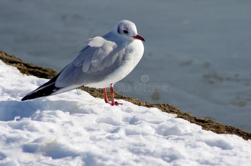 Seemöwe im Schnee lizenzfreie stockfotografie