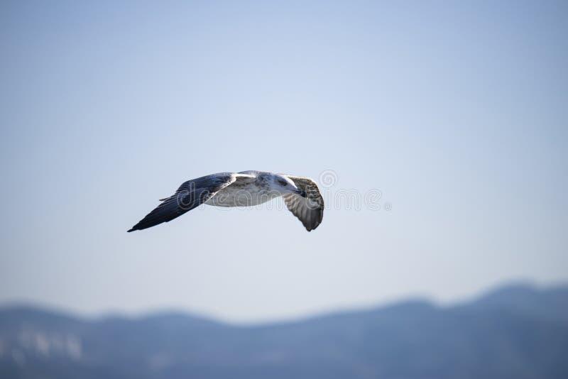 Seemöwe ist auf mittlerer Luft hochfliegend lizenzfreie stockfotos