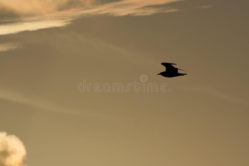 Seemöwe-Schattenbild während des hellen Sonnenaufgangs in Miami lizenzfreie stockbilder