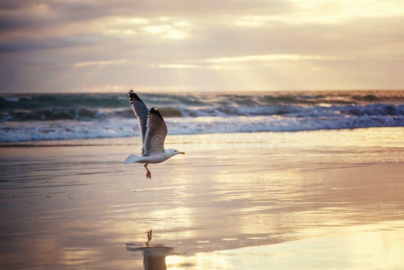 Seemöwe steigt von der Ozeanküste bei Sonnenuntergang, schönes Ozeanla an stockbilder
