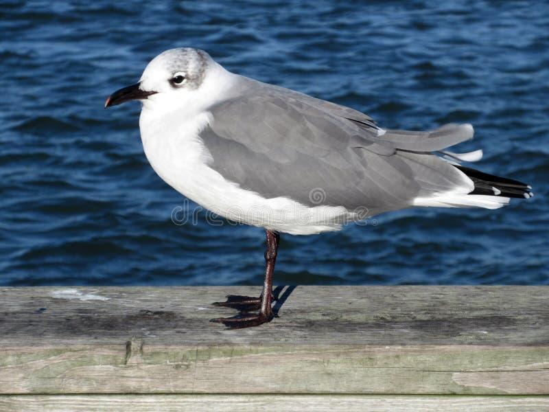 Seemöwe und blaues Wasser in der Ozean-Stadt Maryland lizenzfreies stockfoto