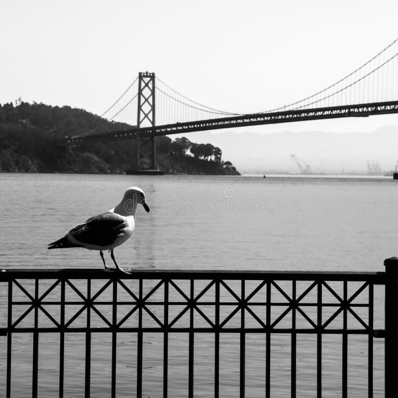 Seemöwe und Oakland-Bucht-Brücke im Hintergrund lizenzfreies stockfoto