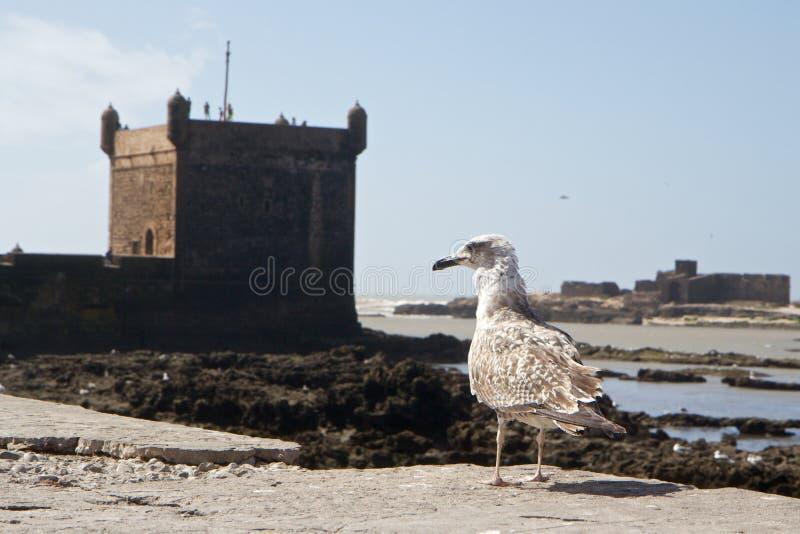 Seemöwe und Verstärkungen des Hafens von Essaouira, Marokko stockbild