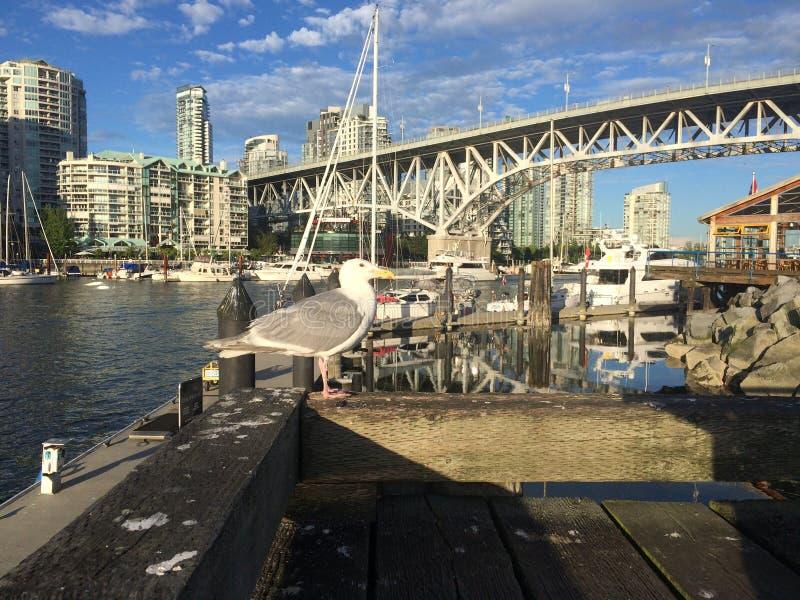 Seemöwe in Vancouver stockfotografie