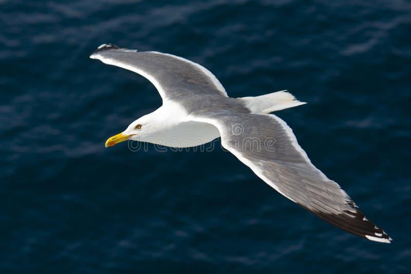 Seemöweflugwesen über dem Ägäischen Meer lizenzfreie stockfotografie