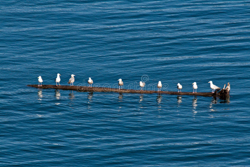Seemöwen in Alaska auf Protokoll stockfotografie