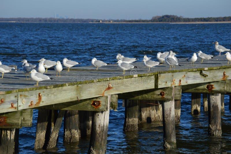 Seemöwen auf altem rustikalem Pier stockbilder