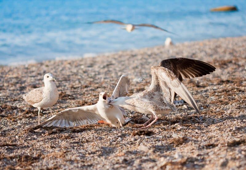 Seemöwen auf dem Strand lizenzfreie stockfotos