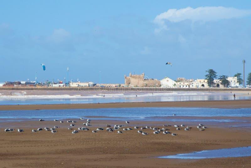 Seemöwen auf dem Strand nahe dem Hafen von Essaouira, Marokko stockbilder