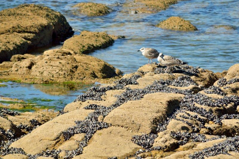 Seemöwen auf den Felsen, die nach ihrem Lebensmittel suchen lizenzfreies stockbild