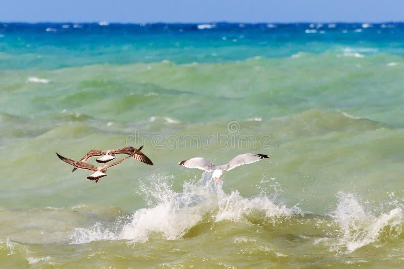 Seemöwen, die über das Meer fliegen lizenzfreies stockfoto