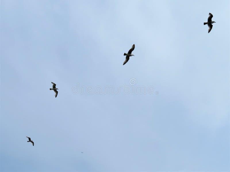 Seemöwen, die über dunkles Laoghaire, Irland sich drehen stockbilder