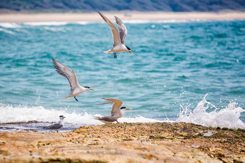 Seemöwen, die auf der Küstenlinie landen lizenzfreies stockbild