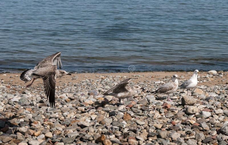 Seemöwen, die auf Pebble Beach landen stockfotos