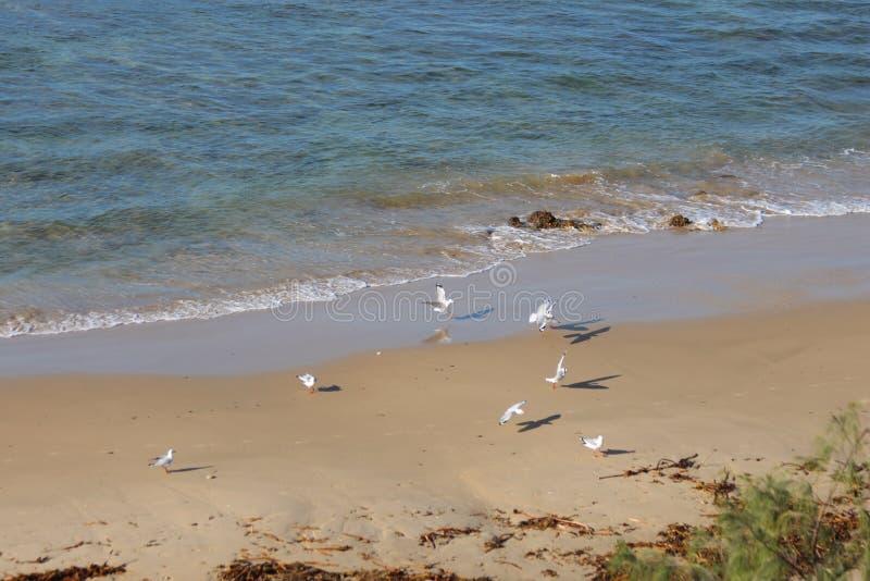 Seemöwen, die auf Strand landen lizenzfreies stockfoto