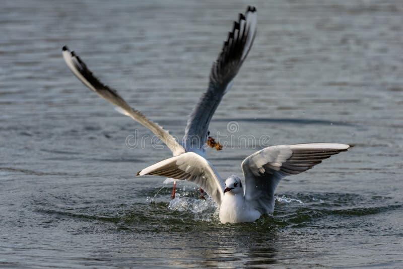 Seemöwen, die auf Wasser landen lizenzfreies stockbild